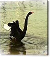 Swan Dance 3 Acrylic Print