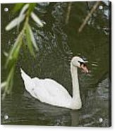 Swan Enjoying A Swim Acrylic Print