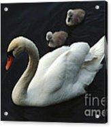 Swan Family 1 Acrylic Print