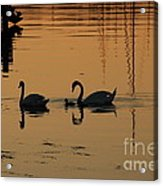 Swan Family At Sunset Acrylic Print by Camilla Brattemark