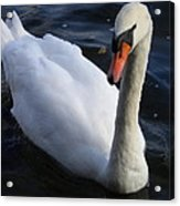 Swan Flying In The Water  Denmark Acrylic Print