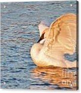 Swan In Golden Light Acrylic Print