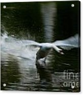 Swan In Motion Acrylic Print