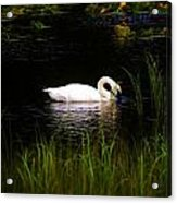 Swan In September Acrylic Print