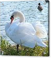 Swan In Sunlight Acrylic Print