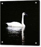 Swan In Wispy Grass Acrylic Print