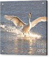 Swan Landing Acrylic Print