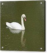 Swan Looking At Reflection Acrylic Print