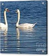 Swan Mates Acrylic Print by Sabrina L Ryan