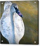 Swan On Evergreen Lake Acrylic Print