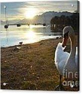 Swan On The Beach Acrylic Print