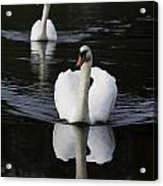 Swan Pair 2 Acrylic Print