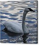 Swan Watching Acrylic Print