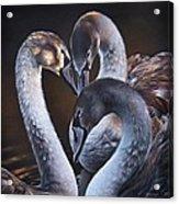 Swan Whispers Acrylic Print