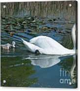 Swan With Cygnets Acrylic Print