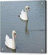 Swans Drifting Along Acrylic Print