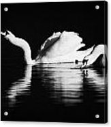 Swans Feeding And Drinking Acrylic Print