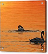 Swans In Early Light  Acrylic Print
