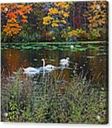 Swans In The Lake Acrylic Print