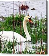 Swan's Marsh Acrylic Print