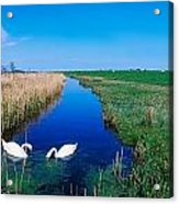 Swans On Bog, Near Newcastle, Co Acrylic Print