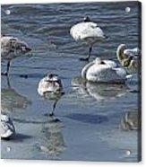 Swans On The Ice Along The Tagish Acrylic Print