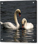 Swans Swimming Acrylic Print