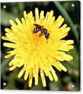 Sweat Bee Acrylic Print