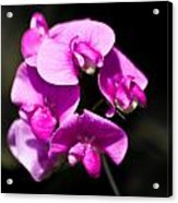Sweat Pea Acrylic Print by Dawn OConnor