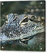 Sweet Baby Alligator Acrylic Print