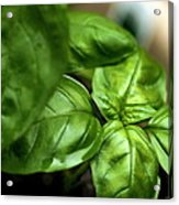 Sweet Basil From The Garden Acrylic Print