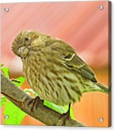 Sweet Finch Painted Effect Acrylic Print