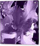 Sweet Lavender Acrylic Print