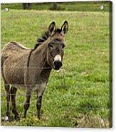 Sweet Little Donkey Acrylic Print