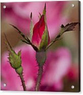Sweet Little Rosebud Acrylic Print