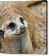 Sweet Meerkat Face Acrylic Print by Carolyn Marshall
