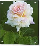 Sweet Morning Peace Rose Acrylic Print