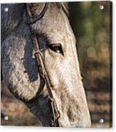 Sweet Mule Friend Acrylic Print