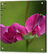 Sweet Pea Flower Acrylic Print