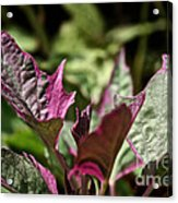Sweet Potato Vine Acrylic Print