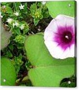 Sweet Potatoe Flower Acrylic Print by Juliana  Blessington
