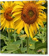 Sweet Sunflowers Acrylic Print