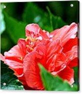 Sweetheart Red Acrylic Print