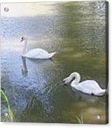 Swimming Swans Acrylic Print