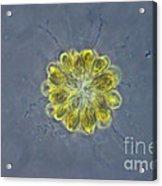 Synura Algae, Lm Acrylic Print