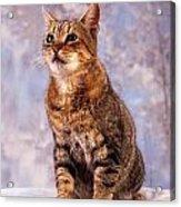 Tabby Cat Portrait Of A Cat Acrylic Print