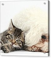 Tabby Kitten And Bichon Fris� Acrylic Print