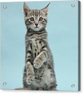 Tabby Kitten Sitting Up Acrylic Print