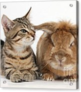 Tabby Kitten With Rabbit Acrylic Print