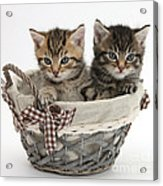 Tabby Kittens In A Basket Acrylic Print